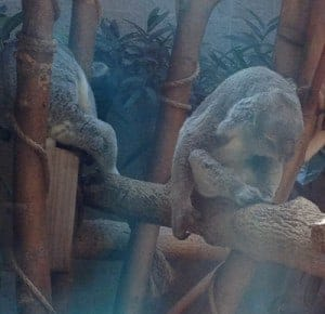 Very tired koala bears
